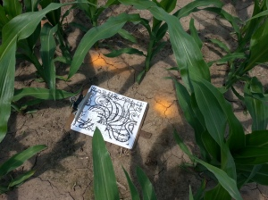Treinen Farm corn maze--math corn fun