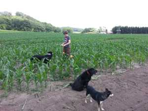Dogs in the corn maze