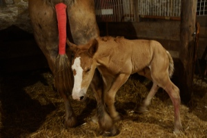 At less than an hour old, our little foal is getting up and ready to run around.
